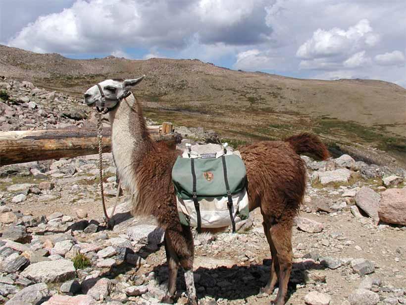 Llamas of Central Colorado