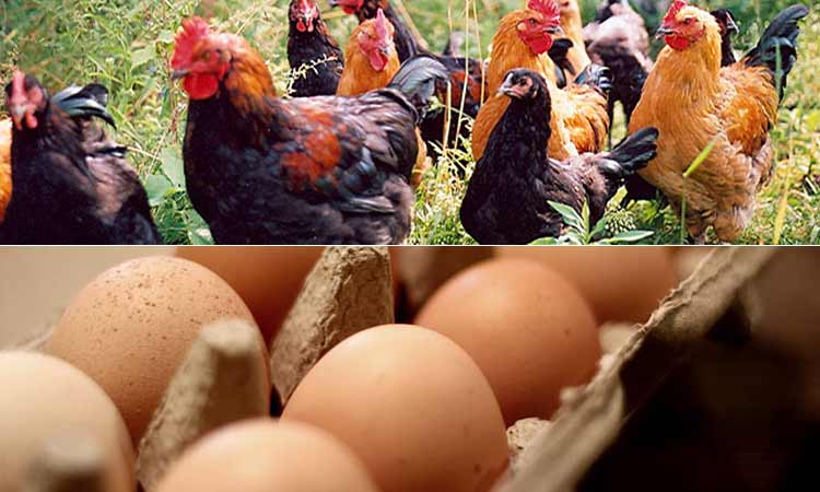 Free Range Chickens & Eggs from Farm2Table
