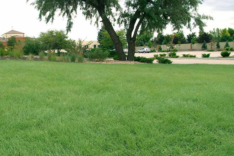 A beautiful lawn with legacy buffalo grass