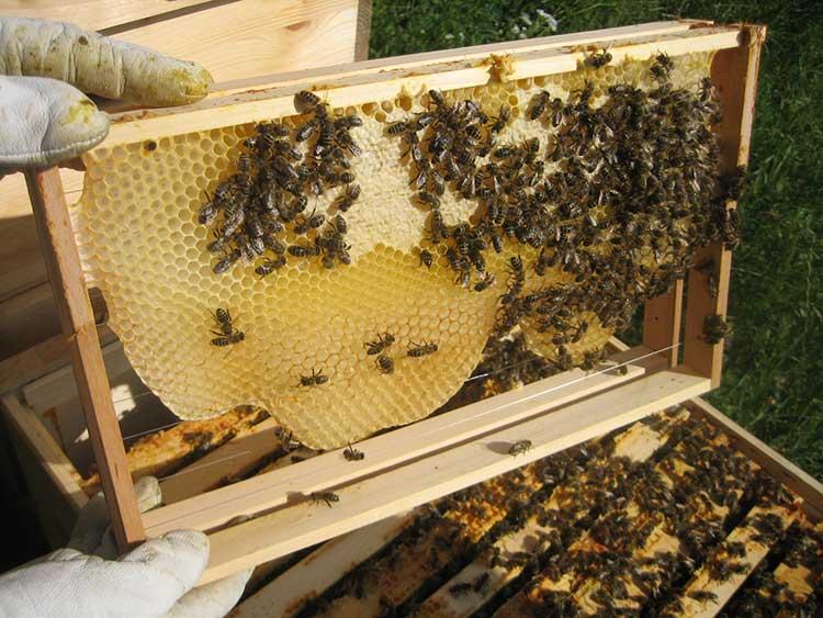 organic-beekeeping-honeycomb